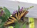 Papilio glaucus (28879131671).jpg