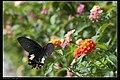 Papilio thaiwanus (15136334392).jpg