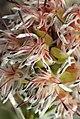 Paranomus roodebergensis Nicola van Berkel 2.jpg