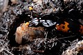 Parental care in burying beetle.jpg