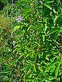 Passiflora incarnata 001.JPG