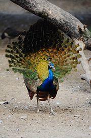 Peacock dance beautiful 1.jpg