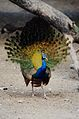 Peacock dance beautiful 1.jpg