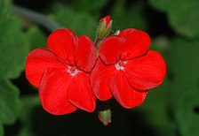 Pelargonium May 2010-1.jpg