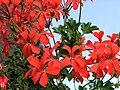 Pelargonium peltatum hort. a1.jpg