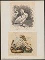 Pelecanus onocrotalus - 1700-1880 - Print - Iconographia Zoologica - Special Collections University of Amsterdam - UBA01 IZ18000153.tif