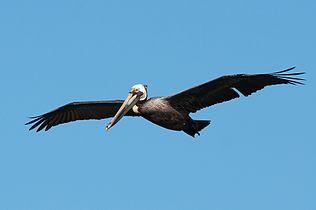 Pelican 4918.jpg