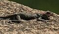 Peninsular Rock Agama (Psammophilus dorsalis) is it W IMG 8817.jpg