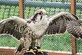 Peregrine Falcon - Duxford August 2009 (3842983517).jpg