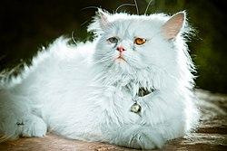 یک گربه اصیل ایرانی