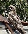 Persian Old World sparrow.jpg