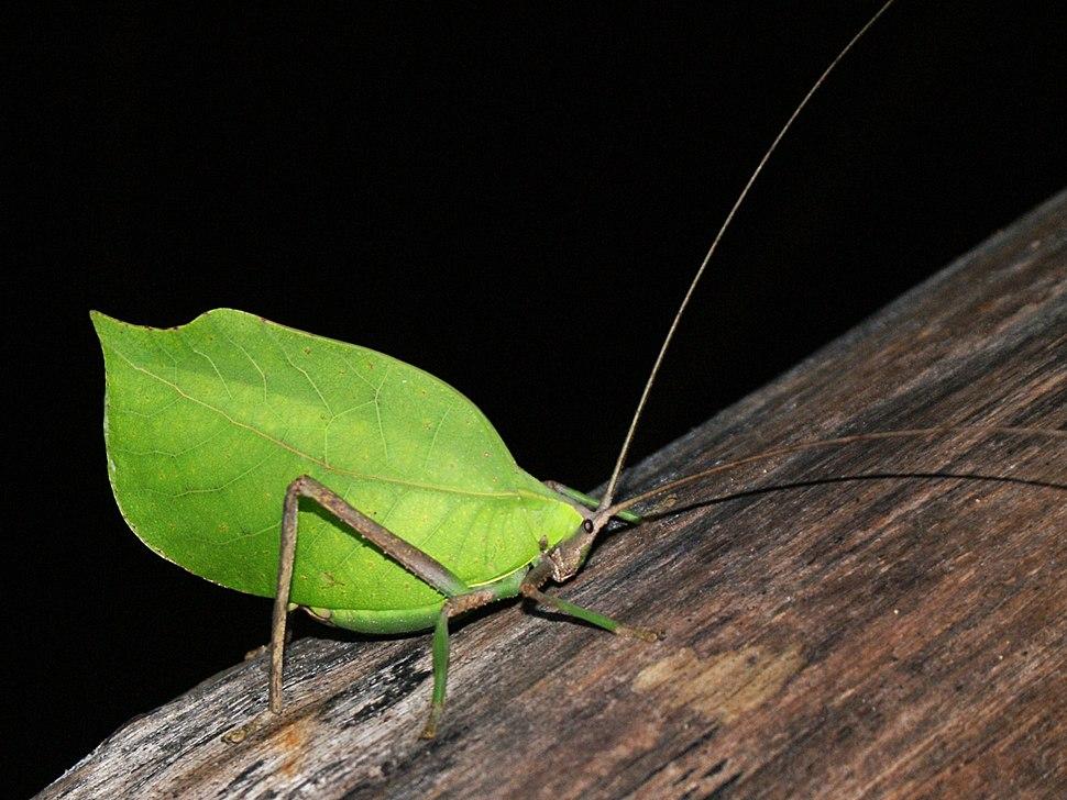 Peruvian Leaf Katydid