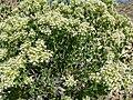 Petalonyx nitidus 2.jpg