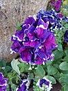 Petunia hybrida - πετούνια 05.jpg
