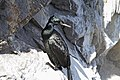 Phalacrocorax pelagicus -San Luis Obispo, California, USA -adult-8.jpg