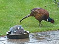 Pheasant and pidgin.jpg