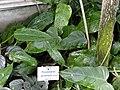 Philodendron perplexum - Botanischer Garten München-Nymphenburg - DSC07981.JPG