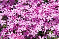 Phlox subulata Crimson Beauty 5zz.jpg