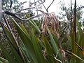 Phormium tenax - wetland 9.jpg