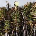 Phyllodoce aleutica (branch s3).jpg