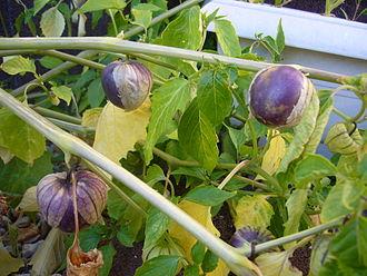 Tomatillo - Purple tomatillos (Physalis ixocarpa)