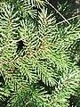 Picea mariana (Black Spruce) (3898372747).jpg