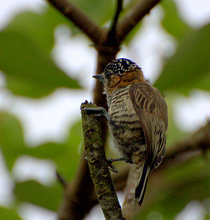 Ochre-collared piculet - Female