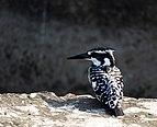 Pied kingfisher Scientific name in Ceryle rudis in Najafgarh drain bird sanctuary DSCN9207 11.jpg