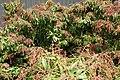 Pieris japonica Shojo 2zz.jpg