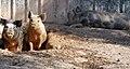 Pigs (8302190612).jpg