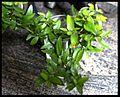 PikiWiki Israel 17946 Plants of Israel.JPG