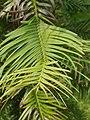 Pinales - Wollemia nobilis - 5.jpg
