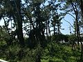 Pine grove near Nishinoura Fishing Port.JPG