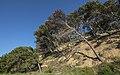 Pine trees, Île Saint-Martin, Gruissan cf01.jpg