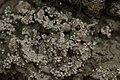 Pink Earth Lichen - Dibaeis baeomyces (44477902062).jpg