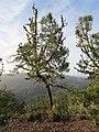Pinus attenuata - Flickr - theforestprimeval.jpg
