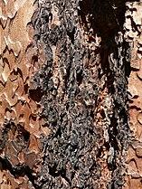 Pinus benthamiana 08559.JPG
