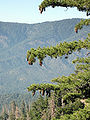 Pinus lambertiana San Gorgonio Wilderness 2.jpg