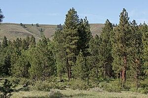 Abert's squirrel - Ponderosa pine groove