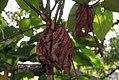 Piper auritum 32zz.jpg