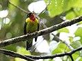 Pipreola frontalis - Scarlet-breasted Fruiteater (cropped).jpg