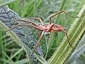 Pisaura mirabilis (Pisauridae) (Nursery-web Spider) - (imago), Arnhem, the Netherlands.jpg