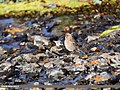 Plain Mountain Finch (Leucosticte nemoricola) (37097019775).jpg