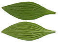 Plantago media leaves.jpg