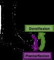 Plantarflexion dorsiflexion.png