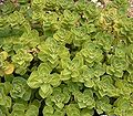 Plectranthus arabicus 01 ies.jpg