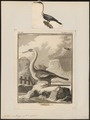 Plotus anhinga - 1700-1880 - Print - Iconographia Zoologica - Special Collections University of Amsterdam - UBA01 IZ18000027.tif