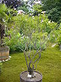 Podranea ricasoliana - shrub.jpg