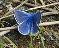 Polyommatus icarus (Common blue) - Flickr - S. Rae.jpg