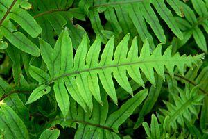 Polypodium - Polypodium formosanum cv. 'Cristatum'